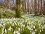 Tărâmul fermecat al primăverii se întinde pe o suprafață de 10 hectare de ghiocei în mijlocul munţilor Orăştiei